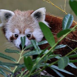 Red Panda by Ralph Harvey - Animals Other Mammals ( wildlife, ralph harvey, red panda, marwell zoo, animal )