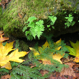 On the Forest Floor by Linda McCormick - Nature Up Close Leaves & Grasses ( fern, california, moss, leaves, redwood )