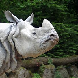 Rhinoceros 2 by Anita Berghoef - Animals Other Mammals ( zoo, nature, rhinoceros, nature up close, grey, rhino, mammal, animal )