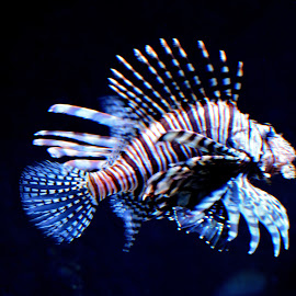 Lion Fish by Anjuli Shankhwar - Animals Fish ( fish, lion fish, sea_creatures, sea )