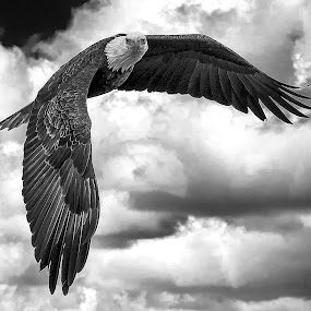 LeClaire Eagle by Ron Meyers - Black & White Animals ( eagle, leclaire eagle, soaring )