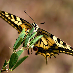 Papilio machaon by Zeljko Kustec - Animals Insects & Spiders ( papilio machaon )