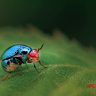 Metallic blue Beetle Fly