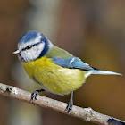Eurasian blue tit -  Mésange bleue