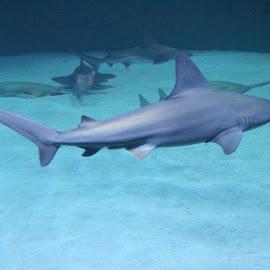 shark by Kaushik Pichumani - Animals Fish