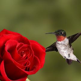 by Lyle Gallup - Animals Birds ( bird, rose, hummingbird, fly, flight )