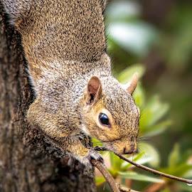 Squirrel by Carol Plummer - Animals Other Mammals