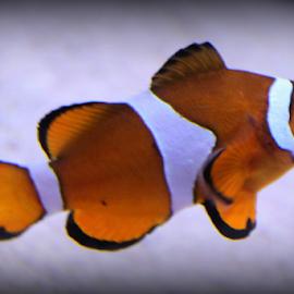 Nemo ...  by Desiree Havenga - Animals Fish