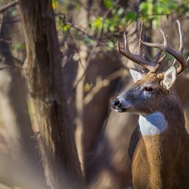 Buck Enjoying the Sun by Chris Hurst - Animals Other Mammals ( whitetail deer, bucks, buck, whitetail, white tail, whitetail buck, deer )
