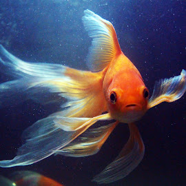 my gold by Saju Sathish R - Animals Fish
