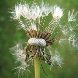 Dandelion Seeds by Janet Herman - Nature Up Close Other plants ( dandelion, nature, autumn, fall, seeds, weeds )
