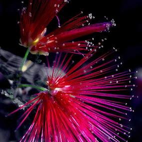 Un identified Flower by Howard Mattix - Flowers Single Flower ( colorful, single flower, fireworks, flowers, tropical flowers,  )
