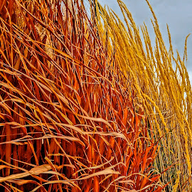 Fall Grasses by Barbara Brock - Nature Up Close Leaves & Grasses ( wild grasses, tall grass, orange grass )
