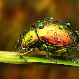 Rainbow by Ondrej Pakan - Animals Insects & Spiders ( macro, beatle, grass, dew drop, bug, dew drops, insect )