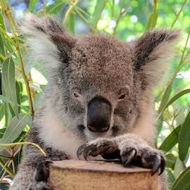 Sleepy koala by Swais M - Animals Other ( bear, love, animals, nature, koala, colors, nikond7000, nikon, animal )