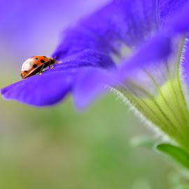 Ladybug on purple flower by Niki Fernandes - Nature Up Close Gardens & Produce ( red, purple, green, ladybug, insects )