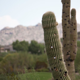 Cactus Death by Golf Ball by Laura Johnston - Sports & Fitness Golf ( golf course, arizona, golf, cactus )