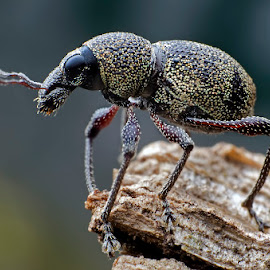 Otiorhynchus sulcatus: Black Vine Weevil by Percy (ReverseLensOnlyMacroPhotography) - Animals Insects & Spiders