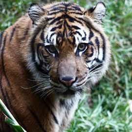 #safari #tiger #sumatrantiger #bengal by Violator Fotography - Animals Lions, Tigers & Big Cats