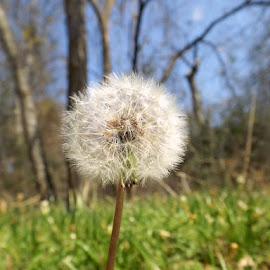 Dandelion by Zalena El-Homsi - Nature Up Close Other plants