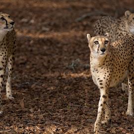 Sisters by Dewayne Hayes - Animals Lions, Tigers & Big Cats ( cats, big cat, cheetah, cat, girl )