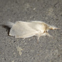 Long Tailed Bombyx (♂)