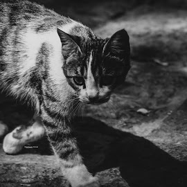 looking for food.. by Amir Hosein Ahmadi - Animals - Cats Portraits ( looking, walking, cat, black and white, cat portrait )