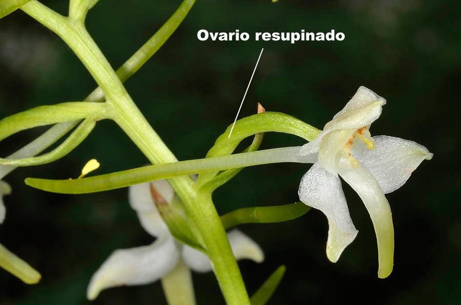 Ovario resupinado de Platanthera chlorantha