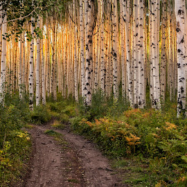Golden Aspens by David Umphfleet - Landscapes Forests ( birch, sunset, dirt road, mcclure pass, aspens )