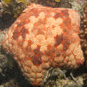 Pincushion sea star