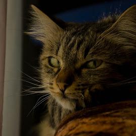 My cat by Mugurel Anghel - Animals - Cats Portraits ( cat, night, portrait )