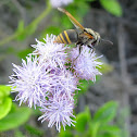 Mexican Honey Wasp