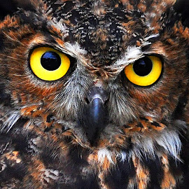 Concentration by Marco Bertamé - Animals Birds ( fixing, owl, portrtait, yellow, close-up, eyes,  )