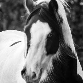 Jamie in b/w by Nicky Staskowiak - Animals Horses ( tinker, horses, jamie )