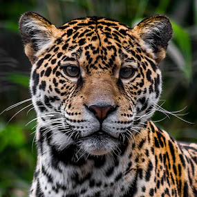 Looking Good by Ken  Frischkorn - Animals Lions, Tigers & Big Cats ( cats, jaguar, wild cat, big cats, jungle cat,  )