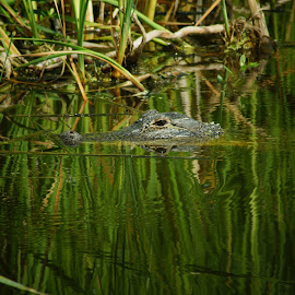 Reflections of Alligator by Susan Fries - Animals Reptiles ( magnolia plantation, reflection, alligator, reptile, animal )