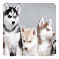 App Husky Live Wallpaper APK for Windows Phone