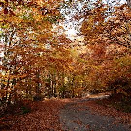 Copper road by Moca Marius - Nature Up Close Trees & Bushes ( orange, autumn, colors, forest, road, autumn colors, fall, color, colorful, nature )