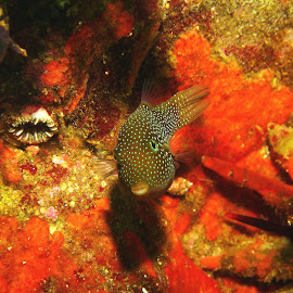 Little Guy by Phil Bear - Animals Fish ( coral, reef, fish, galapagos, puffer )