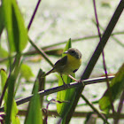 Common Yellowthroat Warbler (juvenile)