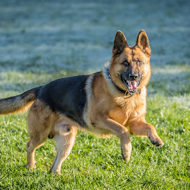 Got my eye on you by Leon Herbert - Animals - Dogs Running ( breed, g+, 20131028, leon herbert photography, dog, date, german shepherd, animal )