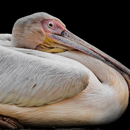 Spot-billed Pelican by Dr Sourabh Kumar Das - Animals Birds