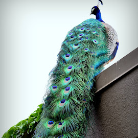Peacock by Denise Richards Bell - Animals Birds