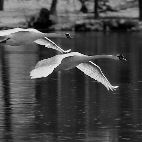 Fly Bye by Roger Becker - Black & White Animals ( water, flight, animals, swan, birds )