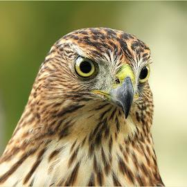 Peregrine Falcon by Dennis Ba - Animals Birds ( falcon, peregrine falcon )