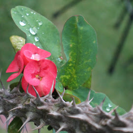 espinas by Finaroli Art - Nature Up Close Other plants ( nature up close, waterdrops, flower )