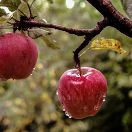 in the rain by Cantea Mihai - Nature Up Close Gardens & Produce ( apple, drops, rain )