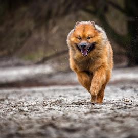 Running on sand by Joern Fellenberg - Animals - Dogs Running ( sand, eurasier, dog, running )