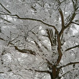 Snowy Oak by Amy Cassiday - Landscapes Forests (  )