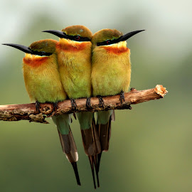 Three-In-One by Buddhilini de Soyza - Animals Birds ( yala, blue-tailed bee-eaters, sri lanka, birds, bee-eater )